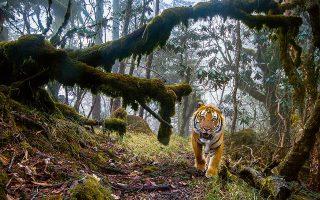 «Tigerland», Εμανουέλ Ροντό, Γαλλία. Μία από τις ελάχιστες εναπομείνασες τίγρεις της Βεγγάλης στο φυσικό της περιβάλλον, σε ένα απομακρυσμένο δάσος των Ιμαλαΐων στο κεντρικό Μπουτάν. © Emmanuel Rondeau/Wildlife Photographer of the Year