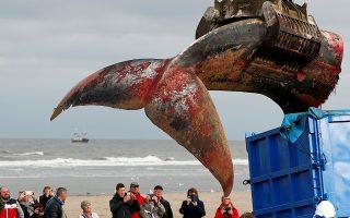 Αιματοβαμμένα σκουπίδια. Μια τεράστια πεθαμένη φάλαινα ξεβράστηκε στην παραλία De Haan  στο Βέλγιο. Κόσμος μαζεύτηκε για να δει το τεράστιο πλάσμα από κοντά αλλά σύντομα το αξιοθέατο έγινε πρόβλημα λόγω της μυρωδιάς. Οι αρχές ανέλαβαν το έργο να κόψουν σε κομμάτια το κήτος και να πετάξουν τους 49 τόνους της σάρκας και του σκελετού του. Στην φωτογραφία η ουρά της μεταφέρεται με γερανό σε φορτηγό για να πεταχτεί. REUTERS/Francois Lenoir