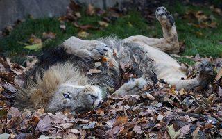 Γατάκι. Μπορεί στην μεγαλύτερη διάρκεια της ημέρας να κοιμάται όμως ο βασιλιάς των ζώων δεν ξεχνά να παίξει και λίγο. Στην προκειμένη περίπτωση με τα φθινοπωρινά φύλλα του Ζωολογικού κήπου του Λονδίνου.  EPA/WILL OLIVER