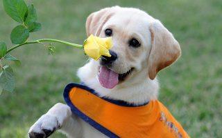 Η ασθένεια είναι πολύ επικίνδυνη για τα σκυλιά. Μέσα σε λίγες ώρες μπορεί να οδηγήσει ένα νεαρό μη εμβολιασμένο κουτάβι στον θάνατο.