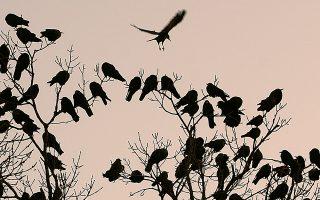Στο πείραμα των επιστημόνων, τα κοράκια της Νέας Καληδονίας ένωσαν δύο ξυλάκια και έφτιαξαν ένα μεγαλύτερο για να καταφέρουν να φτάσουν την τροφή τους.
