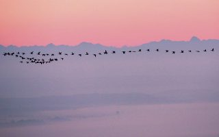 Ομαδικό ταξίδι. Πάνω από τις Αλπεις ταξιδεύουν οι χήνες της φωτογραφίας, ξεκινώντας το ταξίδι τους πριν από το χάραμα. Thomas Warnack/dpa via AP