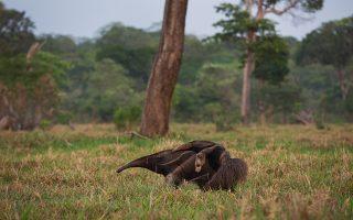 Μια πελώρια μυρμηγκοφάγος και το μικρό της αναζητούν τροφή στο Οικολογικό Καταφύγιο Καϊμάν στην περιοχή Παντανάλ της Βραζιλίας. Οι τυχαίες απώλειες των μεγαλύτερων θηλαστικών, που αναπαράγονται αργά, μπορεί να απειλήσουν έναν ολόκληρο πληθυσμό.