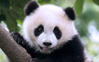 11-chronografoi-me-kantran-typoy-panda0