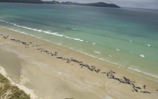 NEW ZEALAND PILOT WHALE BEACHED
