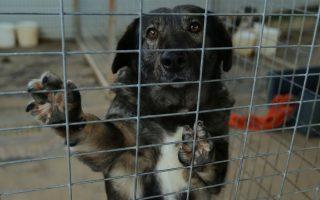 """Σκυλάκι στο προαύλιο του δημοτικού της Παραλίμνης, Πέλλας,  που βρέθηκε εκεί μέσω του προγράμματος υιοθεσιών σκυλιών από σχολεία, που προωθεί ο Σύλλογος Ζωόφιλων Γιαννιτσών, Τετάρτη 4 Φεβρουαρίου 2015. Συνολικά πέντε σχολεία στον νομό Πέλλας έχουν προβεί σε υιοθεσίες αδέσποτων, που κατ' αυτόν τον τρόπο αποκτούν τη δική τους πολυμελή """"οικογένεια"""". Το πρόγραμμα """"υιοθέτησε ένα αδέσποτο"""" έχει ως στόχο, όχι μόνο τη διάσωση ενός αδέσποτου σκύλου από τους συχνά αφιλόξενους ελληνικούς δρόμους, αλλά δίνει και την ευκαιρία στα παιδιά να έρθουν σε επαφή με τα ζώα, αναπτύσσοντας τη συναισθηματική τους νοημοσύνη και το αίσθημα ευθύνης, καλλιεργώντας από την πρώιμη ηλικία τις αξίες του ανθρωπισμού, της ζωοφιλίας και της ανιδιοτελούς προσφοράς, εξηγεί στο ΑΠΕ-ΜΠΕ η πρόεδρος του Συλλόγου Ζωόφιλων Γιαννιτσών Άννα Γέργου. ΑΠΕ-ΜΠΕ/ΑΠΕ-ΜΠΕ/ΝΙΚΟΣ ΑΡΒΑΝΙΤΙΔΗΣ"""