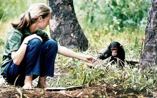 Στα 26 της χρόνια, η Βρετανίδα πρωτευοντολόγος βρέθηκε στην Τανζανία για να παρατηρήσει και να καταγράψει τη συμπεριφορά των χιμπαντζήδων. Oι έρευνές της ανέτρεψαν όσα γνωρίζαμε για τα συμπαθή θηλαστικά.