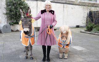 H Καμίλα, ένα πόνι και ένα γαϊδουράκι. Η δούκισσα της Κορνουάλης ποζάρει με την Olie το γαϊδουράκι και τον Harry ένα μίνι Shetland πόνι με αφορμή την  Χριστουγεννιάτικη εκδήλωση για την συγκέντρωση χρημάτων του μη κερδοσκοπικού οργανισμού Working Horses and Donkeys στο Λονδίνο. (Heathcliff O'Malley/Daily Telegraph/PA via AP)
