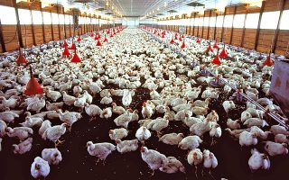 Σχεδόν 66 δισεκατομμύρια κοτόπουλα οδηγούνται στο σφαγείο κάθε χρόνο.