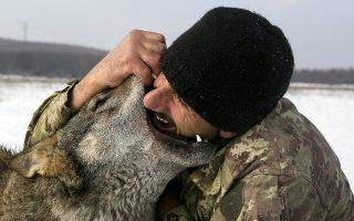 Ενας λύκος με το όνομα Τραμπ. Τέσσερις λύκους έχει εξημερώσει ο Κοσοβάρος αγρότης Hysni Rexhaj που ζει στο χωριό Osek Hyle, 80 περίπου χιλιόμετρα δυτικά της Πρίστινας. Ο Hysni ονόμασε το περήφανο και άγριο ζώο με το όνομα του Αμερικανού Προέδρου ως ένδειξη ευγνωμοσύνης για όσα έχει κάνει για το Κόσοβο.(AP Photo/Visar Kryeziu)