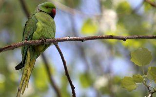 ayxithikan-oi-papagaloi-sta-parka-tis-athinas-amp-8211-ti-exetazei-i-ornithologiki-etaireia0