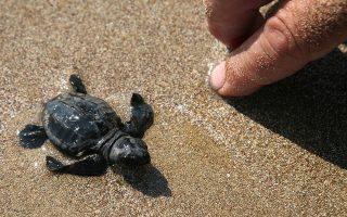 Εντυπωσιακά αποτελέσματα στην προστασία των θαλάσσιων χελώνων της Κύπρου έχει αποφέρει το πρωτοποριακό Σχέδιο για τη διάσωση των θαλάσσιων χελώνων, που εφαρμόζει το Τμήμα Αλιείας και Θαλάσσιων Ερευνών του Υπουργείου Γεωργίας. Η Πράσινη χελώνα και η Καρέτα Καρέτα είναι τα δύο είδη χελώνων που αναπαράγονται στις παραλίες της Κύπρου, κινδυνεύουν με εξαφάνιση και έχουν κηρυχθεί από την Ευρωπαϊκή Ένωση ως είδη προτεραιότητας. Δώδεκα περίπου χιλιάδες Πράσινες χελώνες, αλλά και Καρέτα Καρέτα οδηγήθηκαν στη θάλασσα στην περιοχή Λάρας/Τοξεύτρας και δεκαοκτώ με είκοσι περίπου χιλιάδες Καρέτα Καρέτα στην περιοχή του Κόλπου της Χρυσοχούς (Πόλης/Λίμνη/Λιαλιά). Τα φωτογραφικά στιγμιότυπα από την περιοχή της Λάρας.