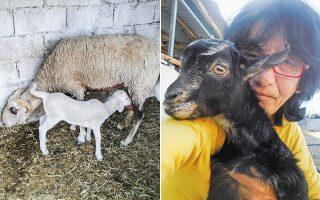 «Προσπαθείς να σκεφθείς τι μπορεί να πάει στραβά. Τα ζώα πρέπει να είναι προφυλαγμένα. Τα μωρά, αν τυχόν δεν έχουν τη μαμά τους, χρειάζονται θερμαινόμενο χώρο γιατί είναι εξαιρετικά ευαίσθητα στο κρύο», λέει η Βίκυ Καπουτσή.