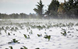 Μεγάλες είναι οι καταστροφές στις καλλιέργειες σε πολλές περιοχές της χώρας, μετά τη σφοδρή χιονόπτωση των τελευταίων ημερών.