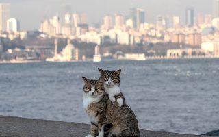 Οι φιλενάδες του Βοσπόρου. Μοιάζουν πολύ, τόσο που θα μπορούσε να είναι αδελφές οι δυο γατούλες που ποζάρουν για τον φωτογράφο με φόντο το προάστιο Levent της Κωνσταντινούπολης. EPA/SEDAT SUNA
