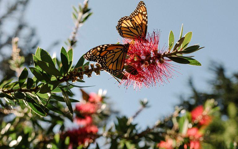 Η πεταλούδα μονάρχης «εκθρονίζεται»