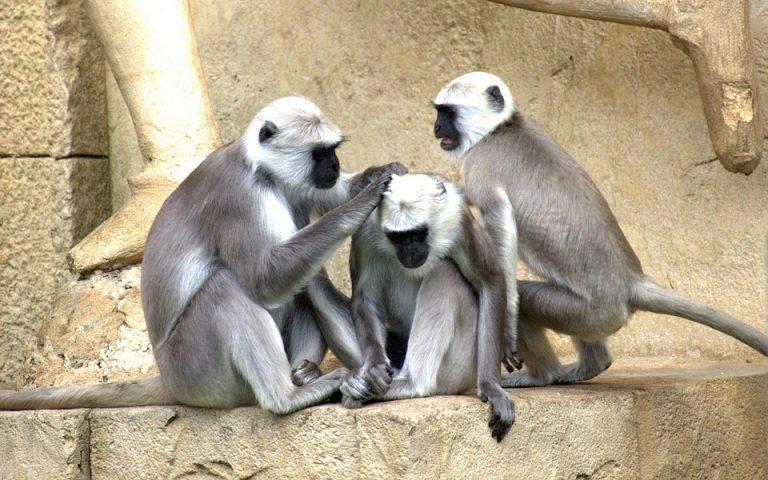 Κινέζοι επιστήμονες κλωνοποίησαν μαϊμούδες με άγχος, αϋπνία και σχιζοφρένεια