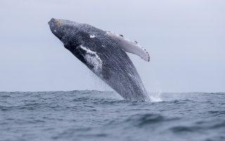 Mια μεγάπτερη φάλαινα παίζει εκτοξεύοντας το βαρύ σώμα της έξω από τη θάλασσα.