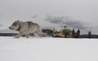 Αντε γειά. Αν και ο τόπος είναι άγνωστος σίγουρα είναι καλύτερος από το κλουβί του. Ετσι ο λευκός λύκος έφυγε μακριά από ελικόπτερα και υπαλλήλους άγριας ζωής. Αυτός και άλλοι τρεις (δυο ζευγάρια) απελευθερώθηκαν στο  Isle Royale National Park του Μίσιγκαν με σκοπό να επαναφέρουν τον πληθυσμό στην περιοχή.  (Daniel Conjanu/The National Parks of Lake Superior Foundation via AP)