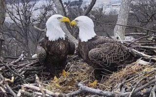 Μια σαπουνόπερα στους αιθέρες. Μέσω μιας κάμερας στο Earth Conservation Corps Eagle Cam,  οι θεατές ανακάλυψαν τα πάθη ανάμεσα σε ένα ζευγάρι φαλακρών αετών που είναι μαζί 14 ολόκληρα χρόνια  και έχουν μεγαλώσει τα παιδιά τους στην φωλιά τους στην Ακαδημία Αστυνομικών στην Ουάσιγκτον. Οι λάτρεις των Λευκοκέφαλων θαλασσαετών (Haliaeetus leucocephalus)  του Εθνικού πτηνού των ΗΠΑ από την παρατήρηση μέσω τις κάμερας ανακάλυψαν ότι το ζευγάρι Liberty και Justice  δεν διαφέρουν και πολύ από τα ζευγάρια των ανθρώπων και παρά την σταθερή μεταξύ τους σχέση και νέοι εραστές στην ζωή τους ήρθαν και πάθη υπήρξαν και εγκυμοσύνες και ένα λαίμαργο και νηστικό ρακούν απείλησε τα παιδιά τους. Μια σαπουνόπερα με τα όλα της δηλαδή. (Earth Conservation Corps via AP)
