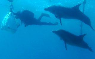 Κοπάδι από δελφίνια πλησιάζει δύτες, οι οποίοι μεταφέρουν κοράλλια στο νέο τους «σπίτι» στην Ερυθρά Θάλασσα.