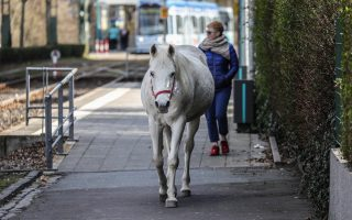 epa07448596 Arabian mare Jenny takes a stroll in front of a tram along tracks in the Fechenheim district of Frankfurt Main, Germany, 19 March 2019. Jenny has become a starlet in the internet recently, but the 22-year-old white Arabian mare has been going out for walks on her own since some 14 years. Her owner Werner Weischedel opens her stable every morning for her quotidian stroll among pedestrians, cars and trams. With her she takes a sticker reading 'My name is Jenny, have not run away, just going for a walk, thanks.'  EPA/ARMANDO BABANI