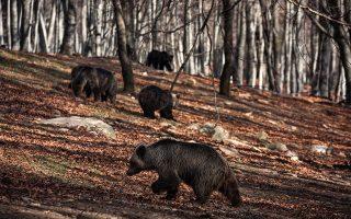 Bears in the wildlife shelter of the environmental organization Arcturos in Nimfaio, Florina, on November 13, 2016. Konstantinos Tsakalidis / SOOC / Arcturos