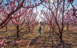Αρχές Μαρτίου στα πρώτα ανθισμένα χωράφια. (Φωτογραφία: ΠΕΡΙΚΛΗΣ ΜΕΡΑΚΟΣ)