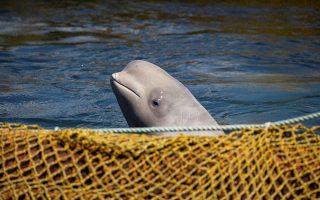 Αιχμάλωτες σε μικρά κλουβιά κρατούνταν περίπου εκατό φάλαινες όρκα και μπελούγκα. Το Κρεμλίνο αποφάσισε την απελευθέρωση των ζώων.