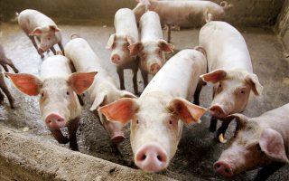 Σημαντική αύξηση της τιμής του χοιρινού κρέατος στις διεθνείς αγορές για πολλά χρόνια προβλέπουν οι αναλυτές λόγω της εξάπλωσης της αφρικανικής πανώλης των χοίρων στην Κίνα, τον μεγαλύτερο παραγωγό και καταναλωτή του συγκεκριμένου κρέατος στον κόσμο. Αν επιβεβαιωθούν οι εκτιμήσεις και παρατηρηθεί περιορισμός της προσφοράς στις ευρωπαϊκές αγορές, αναμένεται να επηρεαστεί και η τιμή στο σουβλάκι στην Ελλάδα, που θα αυξηθεί.