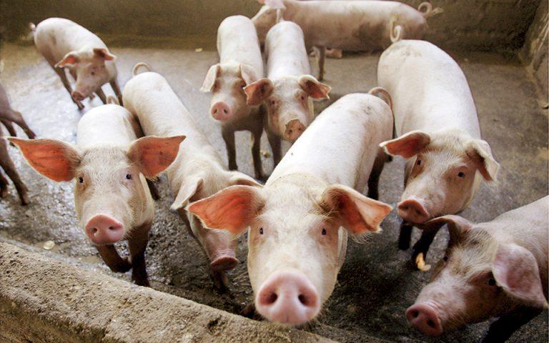 Η πανώλη των χοίρων στην Κίνα εκτοξεύει την τιμή του χοιρινού