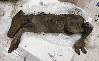Το αρχαιότερο υγρό αίμα βρέθηκε σε νεαρό άλογο που είχε θαφτεί στους πάγους της Σιβηρίας πριν 42.000 χρόνια