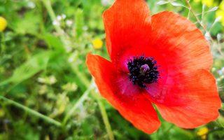 Ανθισμένο λουλούδι διακρίνεται στην πόλη του Ναυπλίου, Κυριακή των Βαΐων 21 Απριλίου 2019. ΑΠΕ-ΜΠΕ/ ΑΠΕ-ΜΠΕ/ ΜΠΟΥΓΙΩΤΗΣ ΕΥΑΓΓΕΛΟΣ