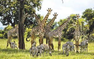 Καμηλοπαρδάλεις και ζέβρες στο πάρκο Μικούμι της Τανζανίας, η βιοποικιλότητα του οποίου απειλείται, σύμφωνα με την έκθεση αξιολόγησης του ΟΗΕ η οποία εκπονήθηκε εντός τριών ετών.