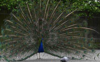 Κόμπλεξ. Ταπεινό περιστέρι και πλουμιστό παγώνι στο ίδιο κάδρο. Μόνο στον κόσμο των ανθρώπων η αντίθεση θα σήμαινε κάτι. Τα πτηνά ξέρουν ότι ο καθένας είναι πολύτιμος με αυτά που έχει. Η φωτογραφία είναι από πάρκο του Λονδίνου. REUTERS/To