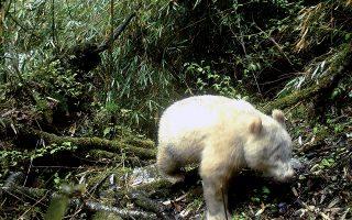 Ενα ολόλευκο αρκουδάκι πάντα φωτογραφήθηκε να περιφέρεται σε δάσος του Εθνικού Καταφυγίου Ζώων της Ουολόνγκ.