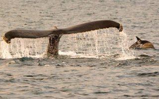 delfinia-paizoyn-me-falaines-stis-irlandikes-aktes-vinteo-apo-drone0