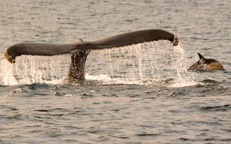 Δελφίνια παίζουν με φάλαινες στις ιρλανδικές ακτές (βίντεο από drone)