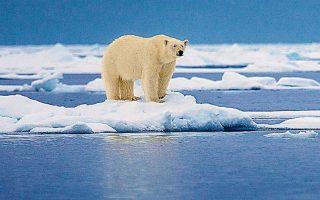H επιβίωση της πολικής αρκούδας είναι υπό απειλή χωρίς τον πάγο, όπου κυνηγάει, ξεκουράζεται και γεννάει. Oι ειδικοί προειδοποιούν ότι το εντυπωσιακό αυτό ζώο ίσως εξαφανιστεί τελείως από την Αρκτική μέσα στα επόμενα 100 χρόνια. SHUTTERSTOCK
