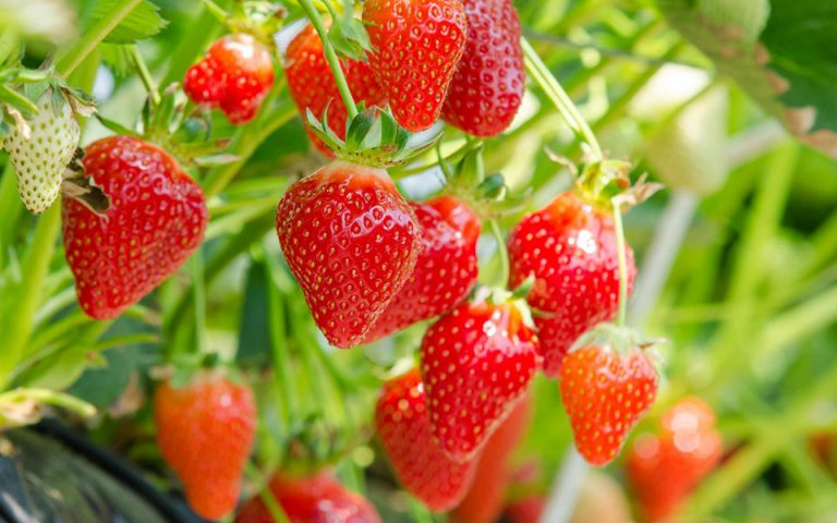 Περί φράουλας
