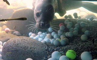 Ρύπανση από μπαλάκια. Πολύς λόγος γίνεται για τα πλαστικά, ιδιαίτερα αυτά της μιας χρήσης που καταφέρνουν και βρίσκονται σε τεράστιες ποσότητες στην θάλασσα. Η φωτογραφία αποδεικνύει μια άλλου τύπου ρύπανση από αυτές που κανείς δεν μπορεί να σκεφτεί. Η μικρή φώκια κολυμπά στον Ειρηνικό Ωκεανό  πάνω από χαμένα μπαλάκια του γκολφ που έχουν καλύψει τον βυθό καθώς η περιοχή γειτονεύει με ένα γήπεδο. Η απίστευτη φωτογραφία είναι από το  Pebble Beach στην Καλιφόρνια. Alex Weber/Handout via REUTERS