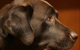 Αλλάξαμε και τους σκύλους. Αποτέλεσμα μελέτης επιστημόνων είναι το παρακάτω συμπέρασμα. Οι άνθρωποι λένε  προτιμούν τους σκύλους που έχουν το «βλέμμα του κουταβιού» αυτή την έκφραση απορίας και παράκλησης που κάνει τα σκυλιά πραγματικά αξιολάτρευτα στα μάτια μας. Μάλιστα αυτή μας η προτίμηση «ανάγκασε» τους σκύλους εξελικτικά να κινούν αυτούς τους μυς γύρω από τα μάτια μόνο και μόνο για να είναι αρεστοί σε εμάς. Στην φωτογραφία η Shayana, ράτσας λαμπραντόρ.  (AP Photo/Seth Wenig, File)