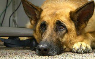 Με την ικανότητά τους να μιμούνται εκφράσεις προσώπου, όπως θλίψη, χαρά, ικανοποίηση, οι σκύλοι εξασφαλίζουν την προτίμηση των ανθρώπων.