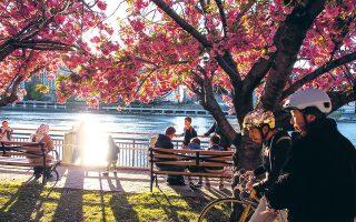 Κάτω από τις ανθισμένες κερασιές του Roosevelt Island. (Φωτογραφία: ΔΗΜΗΤΡΗΣ ΤΣΟΥΜΠΛΕΚΑΣ)