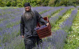 Ο ιεροδιάκονος Εφραίμ μαζεύει λεβάντα στα χωράφια  της Ιεράς Μονής Βατοπαιδίου, ένα από τα είκοσι βότανα και αρωματικά φυτά που καλλιεργούν οι μοναχοί. Φωτογραφίες: Αλέξανδρος Αβραμίδης