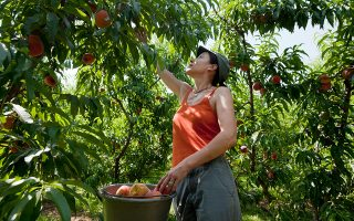 Υπολογίζεται ότι επτακόσιες με οκτακόσιες χιλιάδες τόνοι (ροδάκινα, βερίκοκα, κεράσια) ωριμάζουν στα δένδρα.  Οι παραγωγοί ζητούν εργάτες και προσφέρουν «καλό μεροκάματο, ένσημα, στέγη και διατροφή».