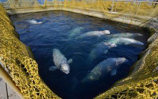 Περίπου 100 φάλαινες είναι «φυλακισμένες» στο καταφύγιο θαλάσσιων θηλαστικών στο Πριμόριε της ρωσικής Άπω Ανατολής