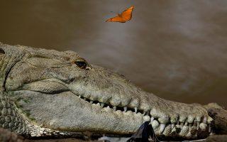 Μαζί. Ενας τεράστιος κροκόδειλος στο ίδιο κάδρο με μια εύθραυστη πεταλούδα. Η φωτογραφία από τον ποταμό Tarcoles στην επαρχία Puntarenas της Κόστα Ρίκα, αν σας βγάλει ο δρόμος μέχρι εκεί να ξέρετε ότι έχει τον μεγαλύτερο πληθυσμό κροκοδείλων στον κόσμο!  REUTERS/Juan Carlos Ulate