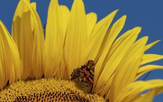 Κίτρινο 1. Το χρώμα που οπτικοποιεί το καλοκαίρι. Μια πεταλούδα φωλιάζει μέσα σε έναν ηλίανθο στο Rust της Γερμανίας. Patrick Seeger/dpa via AP