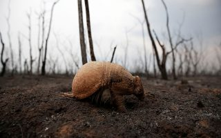 Ο τυφλός. Τα μάτια του καήκαν από την φωτιά. Ο αρμαντίλλο της φωτογραφίας δεν μπορεί δει την τεράστια οικολογική καταστροφή που έχει συντελεστεί στο Guarani Nation Ecological Conservation Area Nembi Guasu στην Βολιβία και σύντομα χωρίς βοήθεια θα είναι νεκρός. .REUTERS/David Mercado